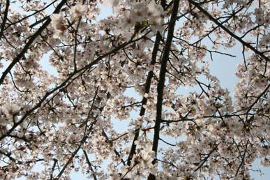 24 kamogawa sakura.jpg
